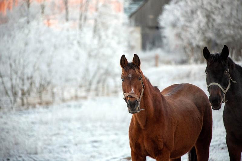 Hobused