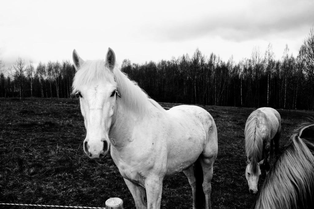 Valge hobune. Photo: Tauno Erik